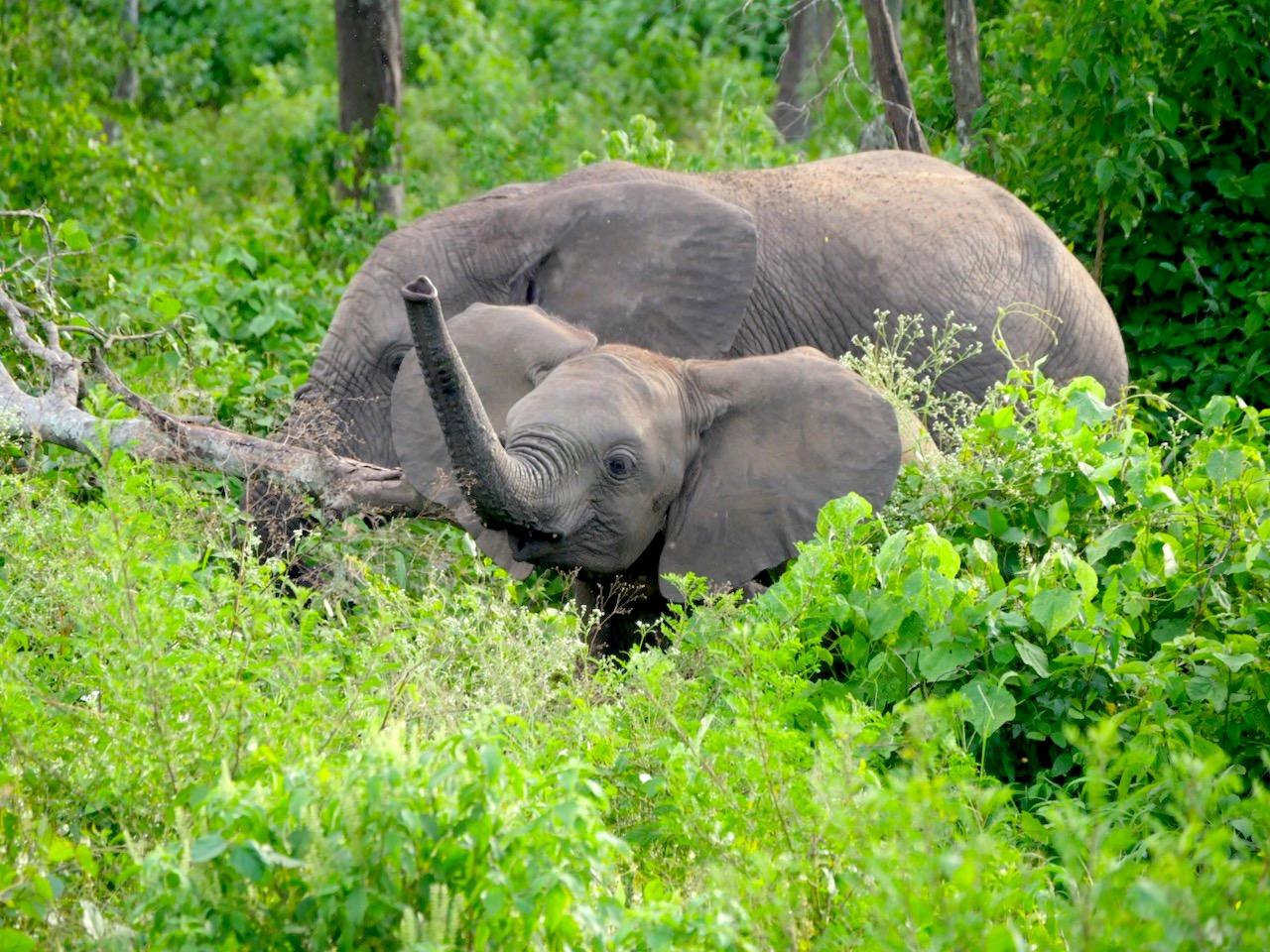 Rodzina słoni w zaroślach